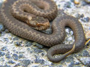 snake-947367_1920-300x224